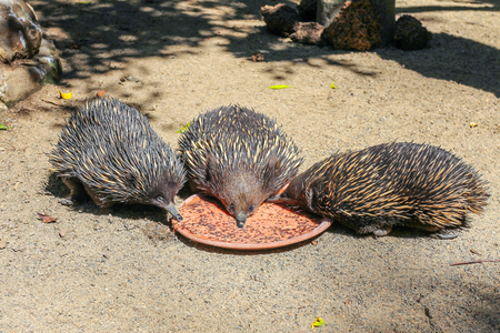 Three echidnas eating from one plate, Sydney, Australia Imagens