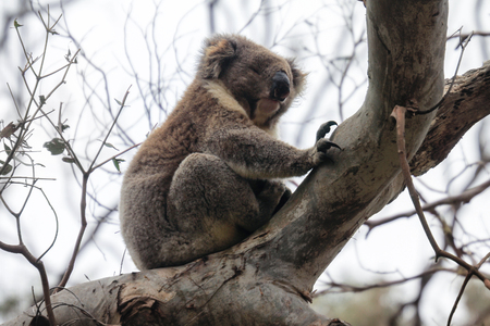 Furry coala bear sleeping on the branch, near Melbourne, Australia