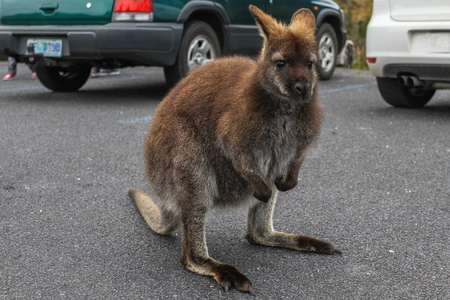 Small wallaby standing on the parking lot, Cradle mountain national park, Tasmania
