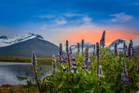 Blue lupin flowers with fjord and sunset mountains in the background, Faskrudsfjordir, Eastern Iceland