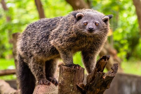Binturong or philipino bearcat walking on the trees, Palawan, Philippines Imagens
