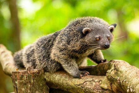 Binturong or philipino bearcat walking on the trees, Palawan, Philippines 스톡 콘텐츠