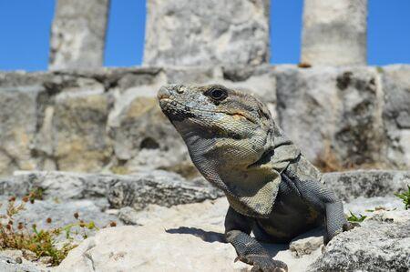 warm blooded: Alpha Iguana