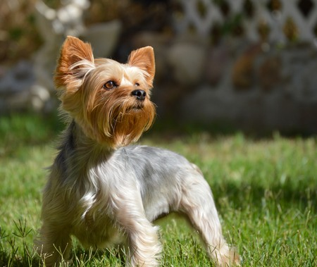 yorkie: Proud Yorkshire Terrier Stock Photo