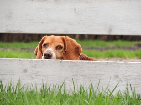 peeking: Beagle Peeking Through Fence