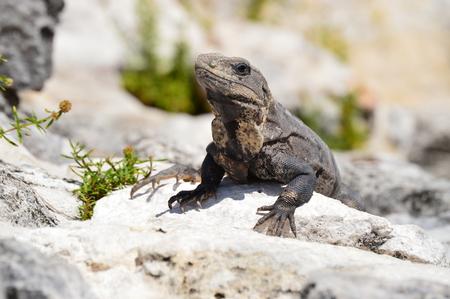 warm blooded: Iguana on the Rocks Stock Photo