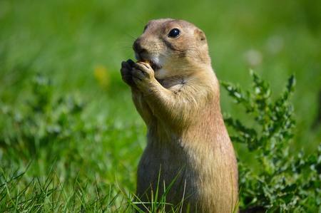 perro comiendo: Prairie Dog Eating  Foto de archivo