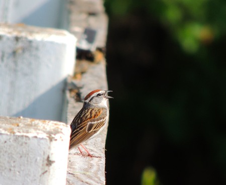 chipping: Singing Chipping Sparrow