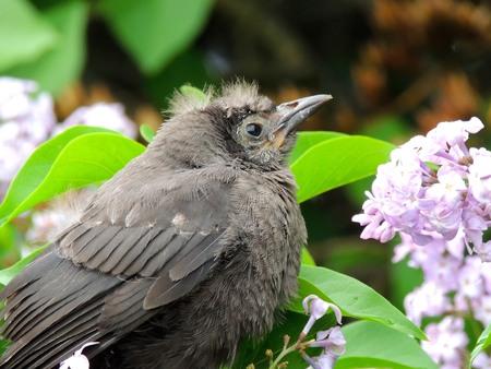 robin: Baby Robin