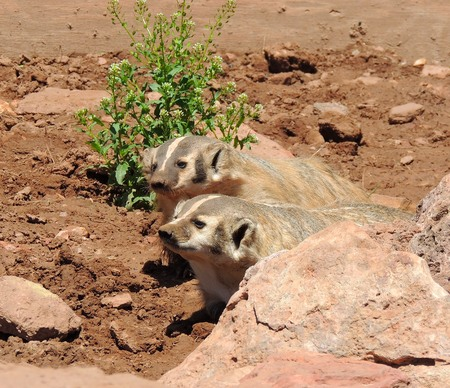 curious: Curious Badgers