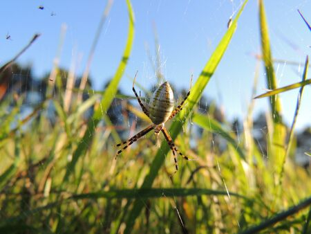 web crawler: Garden Spider on Web Stock Photo