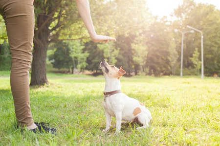 A man gives commands to a breed dog jack russel terrier which sits on the green grass in the park Archivio Fotografico