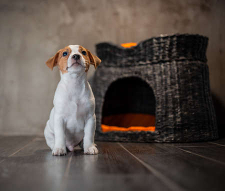 Puppy of breed Jack Russell Terrier sitting next to a wicker pet house with orange pillows against a gray wall Archivio Fotografico - 119954326