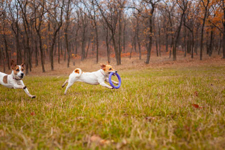 Two dogs of the Jack Russell Terrier breed run around the field in the park in autumn and play with a puller