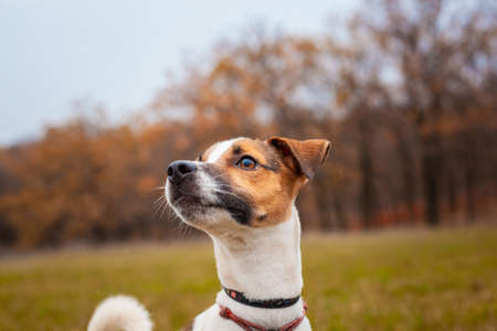 Dog breed Jack Russell Terrier on the lawn in the park in autumn