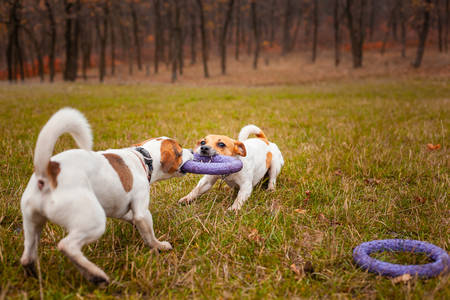 Two dogs of breed Jack Russell Terrier are played by pulling a puller on the lawn in the park in autumn Stockfoto
