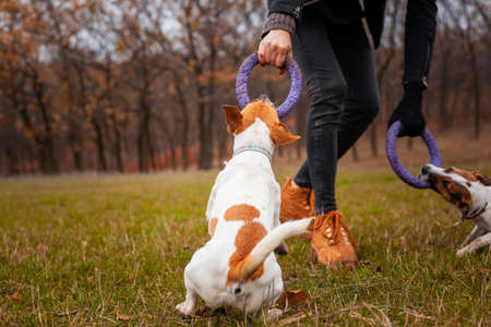 Two dogs of the Jack Russell Terrier breed play with a man in a clearing in the park in autumn Stockfoto