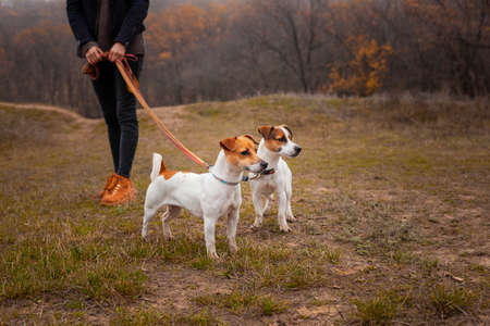 Two dogs of the Jack Russell breed, a girl walks on leashes in the park in the fall.