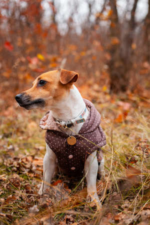 Dog breed Jack Russell Terrier sitting wearing a vest on the lawn in the park in autumn