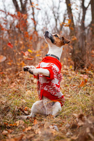 Dog Jack Russell Terrier sits in a sweater and raises its paws up