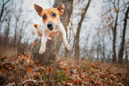 Dog breed Jack Russell Terrier jumps from a tree in the park in autumn