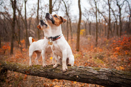 Two Jack Russell Terrier dogs stand on a log in a flock in autumn Stockfoto
