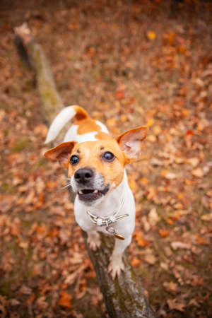 Dog breed Jack Russell Terrier stands on a log in the park in autumn Stockfoto