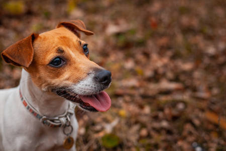 Dog breed Jack Russell Terrier sitting on the lawn in the park