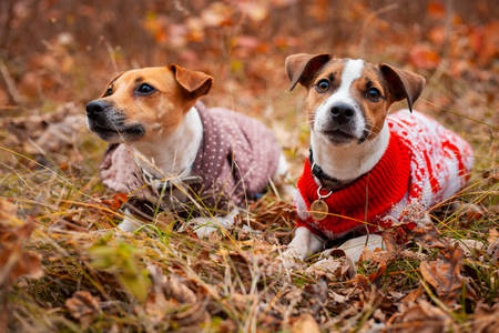 Two Jack Russell Terrier dogs in clothes on the lawn in the autumn forest