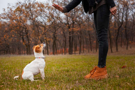 Dog breed Jack Russell Terrier sits near the legs of a man and executes his commands in the park in autumn