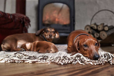Three dachshunds of brown color with a puppy on a rug next to a working fireplace and a woodpile