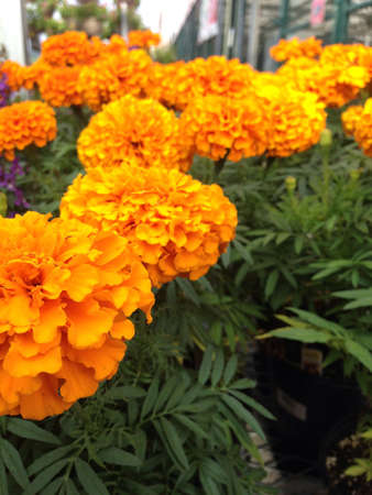 Beautiful Marigold Annual Plant that keep the bugs away