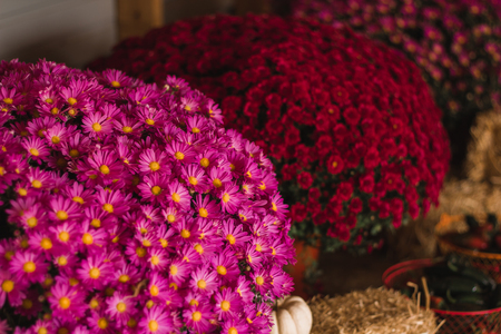 pinks: colorful mums in pinks and reds