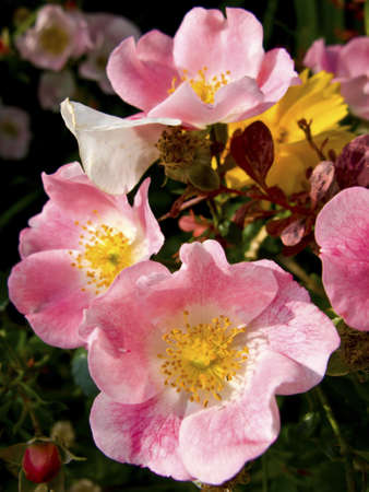 Close up of wild roses