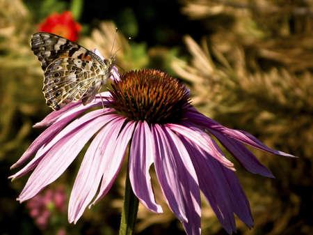 corn flower: Butterfly drinking nectar from corn flower bloom.