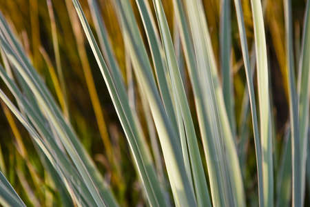 yucca: Close up abstraction of yucca plant leaves. Stock Photo