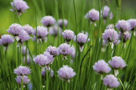 Close up of chive blooms.