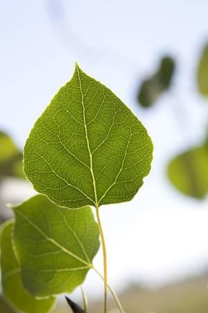 aspen leaf: Aspen Leaf Close Up