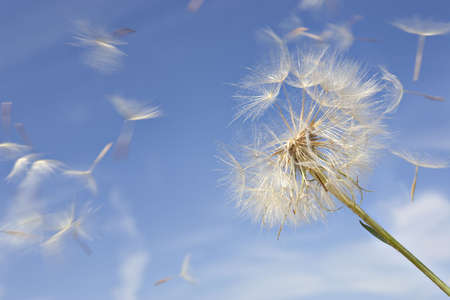 Dandelion Against Blue Sky with Blowing Seeds Stock Photo