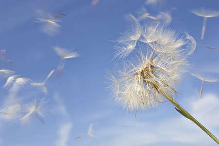Paardebloem tegen blauwe hemel met waait zaden Stockfoto