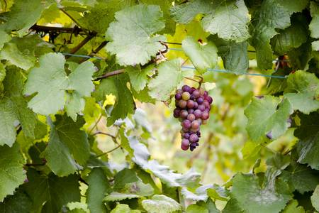 Red Grapes Hanging from Vine Stock Photo - 5844083