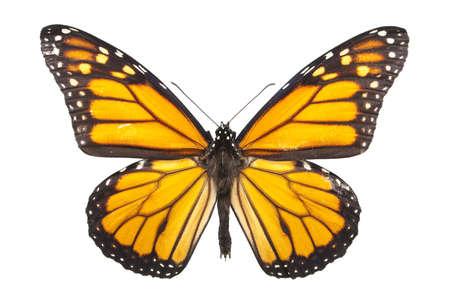 amarillo y negro: Mariposa monarca aislada en blanco