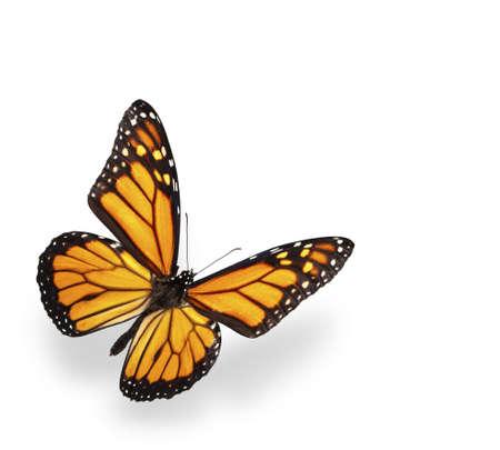 butterflies flying: Mariposa monarca aislado en blanco con sombra suave