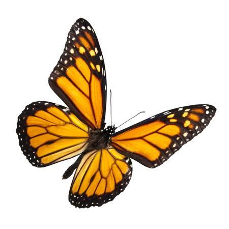 mariposas volando: Mariposa monarca aislado en blanco. Sin sombra para facilitar su uso aislado. Foto de archivo