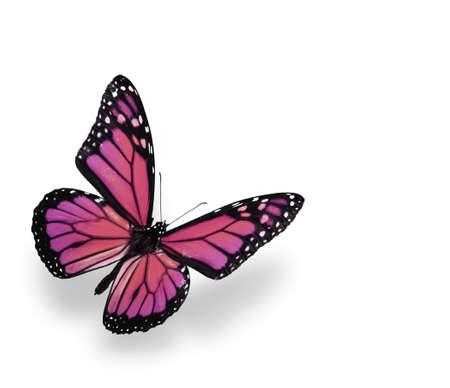 Monarch Butterfly Isolated on White. Soft shadown undernath. Standard-Bild