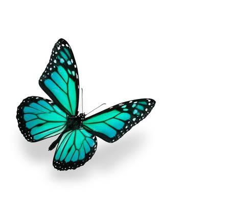 mariposa azul: Mariposa monarca aislada en blanco. Undernath de shadown suave.