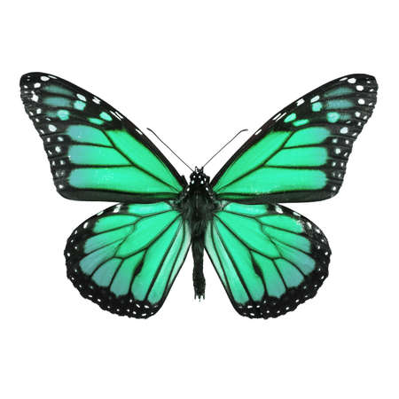 blue green background: Monarch Butterfly Isolated on White. Soft shadown undernath. Stock Photo