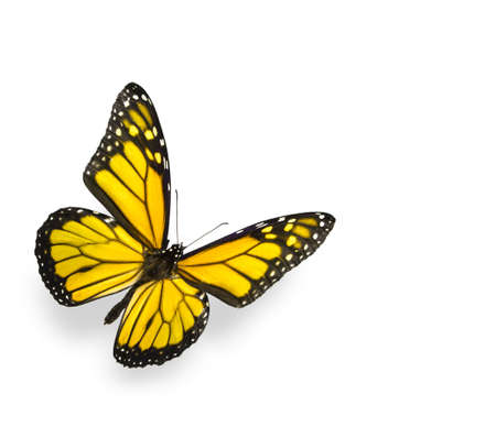 Bright Yellow Butterfly Isolated on White 스톡 콘텐츠