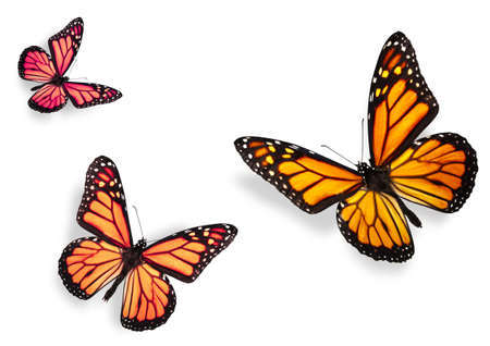 Three Monarch Butterflies Isolated on White Flying towards center of frame