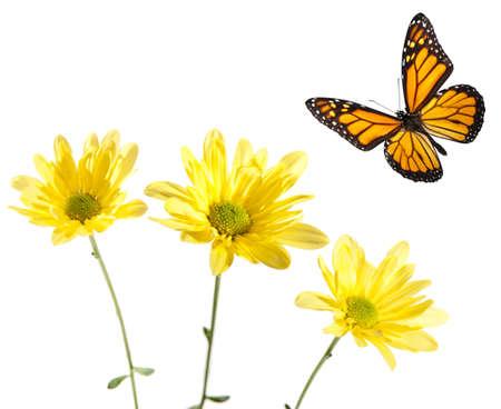 君主は、黄色のヒナギクの上を飛んでします。スタジオ ショットします。センターの花と蝶の全体にわたって重要な焦点です。